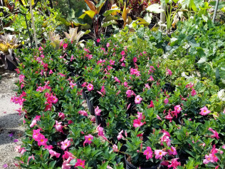 accent plants bonita springs fl